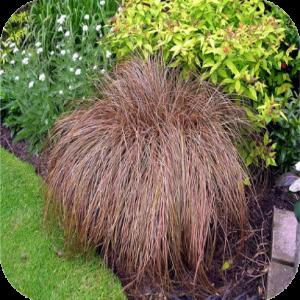 Carex comans 'Bronze form' (Zegge)