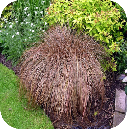 Carex comans 'Bronze form' (Zegge)