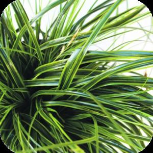 Carex oshimensis 'Everlime' (Zegge)