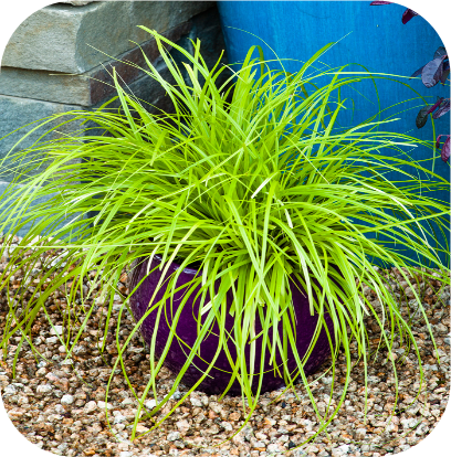 Carex Oshimensis 'Everillo' (Zegge)