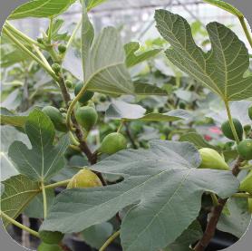 Vijg (Ficus)