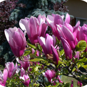 Magnolia Susan (Beverboom)