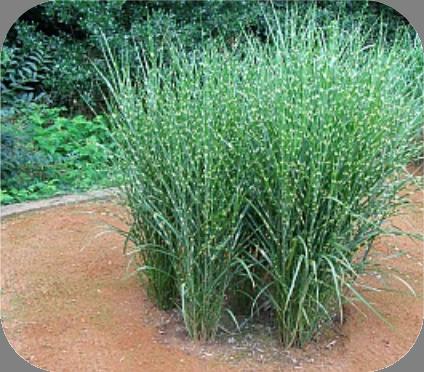 Grassen In Pot.Miscanthus Sin Strictus Prachtriet 2 Liter Pot