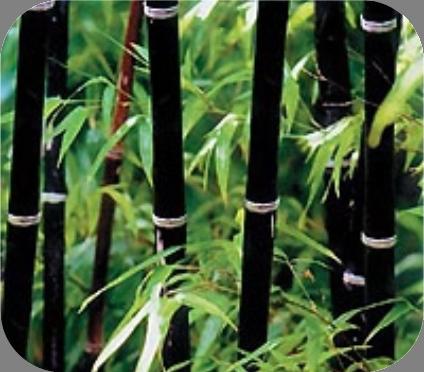 Bamboe Phyllostachys nigra
