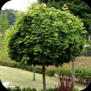 Robinia (Acacia)