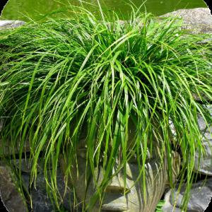 Carex oshimensis Evergreen (Zegge)