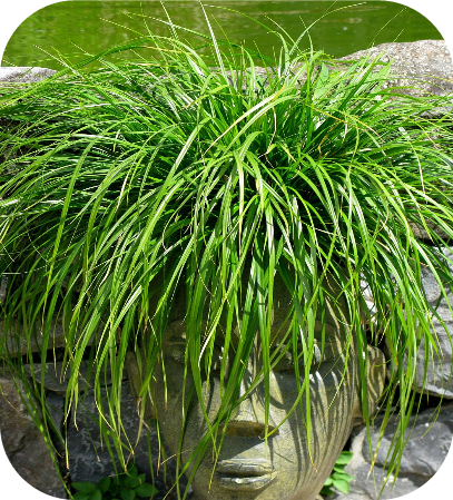 Carex oshimensis Evergreen (Zegge)