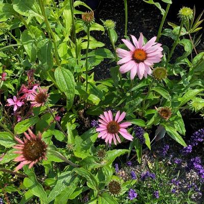 Echinacea purp. 'Magnus'