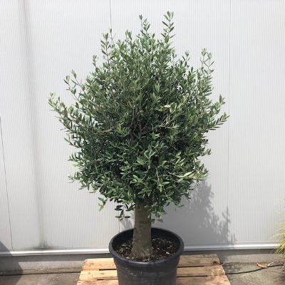 Olea europaea (Olijfboom) potmaat 55 cm