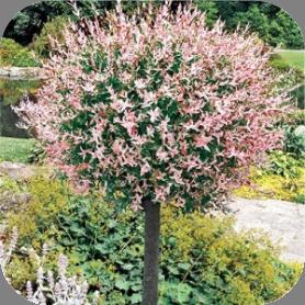 Salix (wilg)