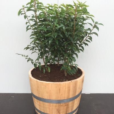 Half portvat met Prunus l. Angustifolia(Portugeese Laurierkers)