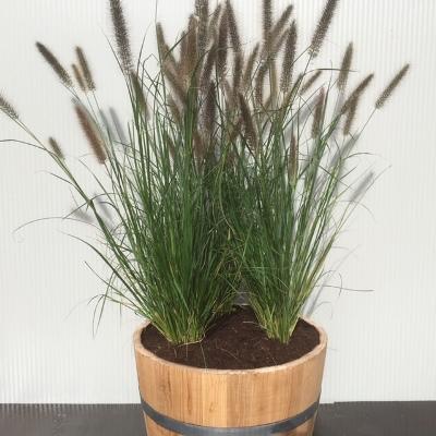 Half portvat 55 liter met Pennisetum alopercoides Viridescens