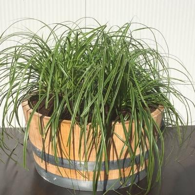 Kwart portvat 28 liter met Carex oshimensis 'Everlime' (Zegge)