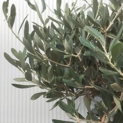 Olea europaea (Olijf) op stam
