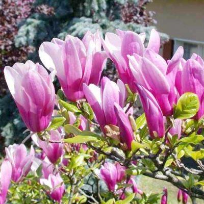 Magnolia (Beverboom)