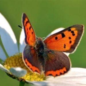 Vlinder en bijenplanten