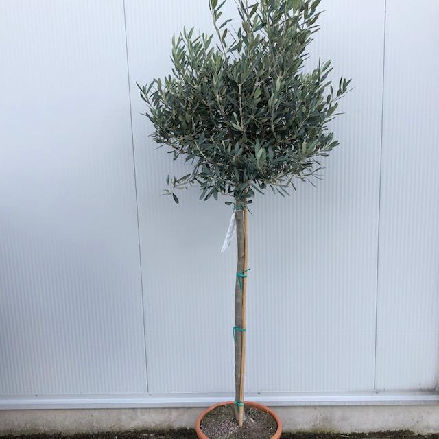 Olea europaea (Olijf) op stam van 80 cm en met 80 cm bol