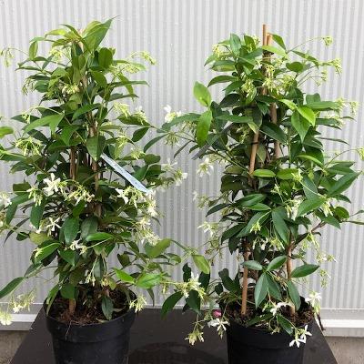 Trachelospermum jasminoides (Toscaanse Jasmijn) wit