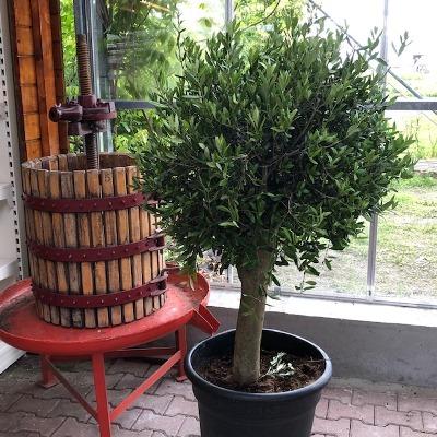 Olea europaea (Olijfboom) potmaat 50 cm