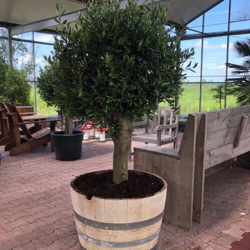 Half wijnvat 112 liter met olijfboom