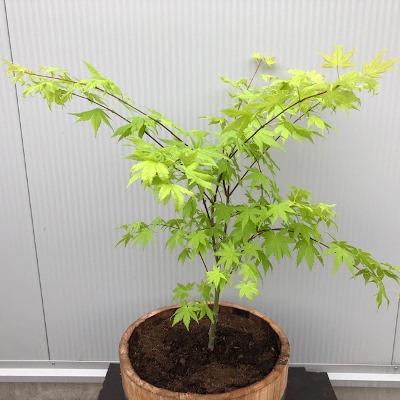 Half portvat 25 liter met Japanse Esdoorn (Acer)