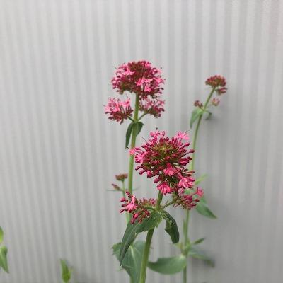 Centranthus ruber 'Coccineus'