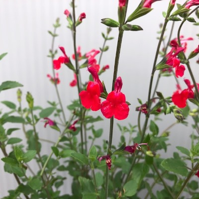 Salvia micro. 'Hot lips'