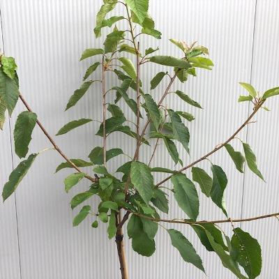 Kersenboom laagstam Hedelfinger