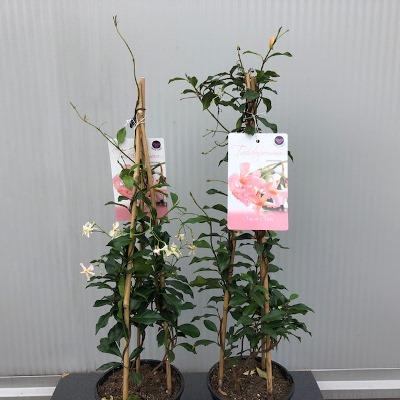 "Trachelospermum ""Star of Sicily"" (Toscaanse Jasmijn)"