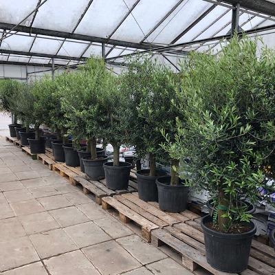 Mediterrane planten bij Tas Boomkwekerij